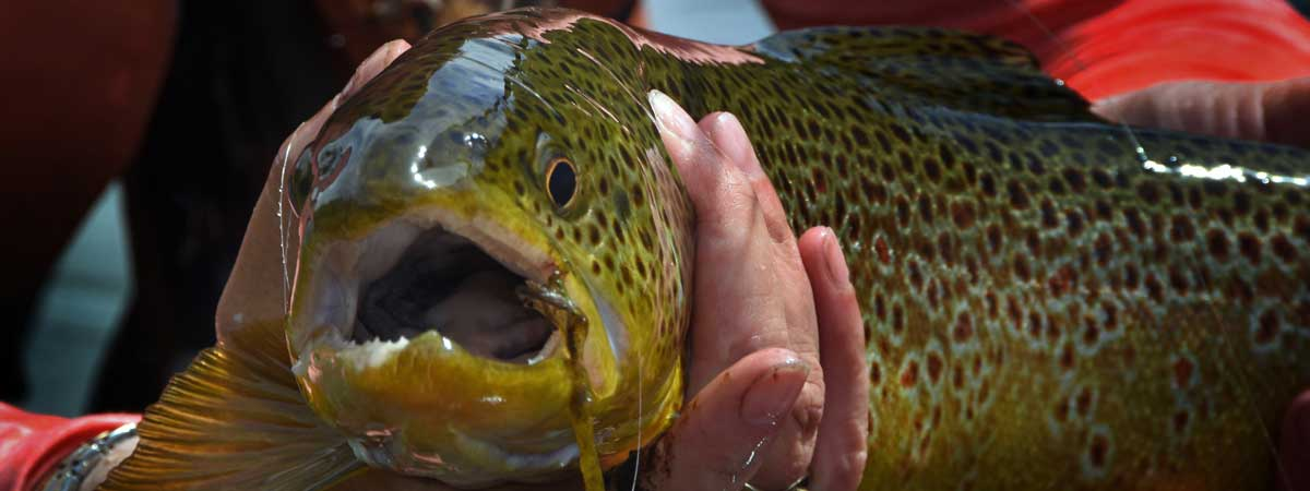 Huge Brown Trout caught on the Big Hole River in Montana - Lisa Savard