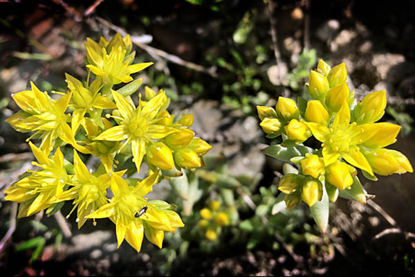 Gordon's Ivesia Wildflower