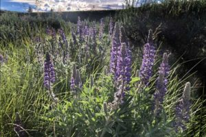 Lupine in Montana
