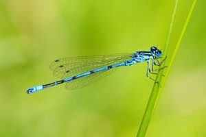 Adult Damselfly that is trout food in Montana